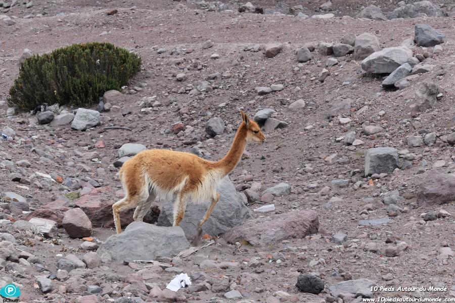 Chimborazo - vigogne