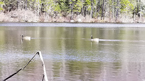 Canadian Geese, Lower Hall Pond, NH